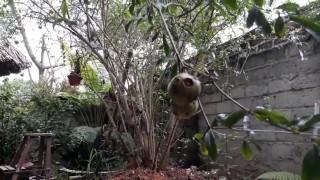 [Binh Bonsai] – Cây lựu | cây môi trường đẹp | Chơi cây ngày tết