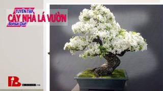 ~ [Bậc thầy bonsai] Quá trình khai thác Bonsai núi Thạch Sanh vẫn vui với những Bonsai đẹp