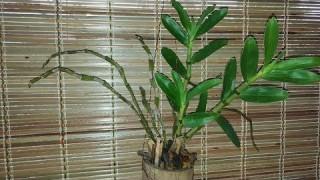 [Binh Bonsai] Cách trồng phong lan lên giò tre – ống tre tuyệt đẹp – phong lan đẹp – binh art