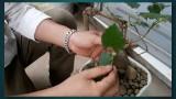 [Binh Bonsai] – Cây Dâu bonsai giá 1$ | Cây dâu – cây phong thủy – Cây dâu trừ tà