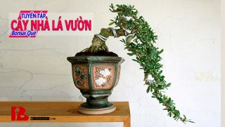 [Binh Bonsai] Cây nhà lá vườn – Bonsai thú vui tao nhã