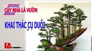 [Binh Bonsai] – Cụ Duối | Xem khai thác cụ duối bonsai nghệ thuật cùng với Thạch Sach Binh Bonsai