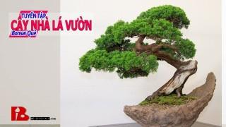 ~ [Binh Bonsai] Khâm phục anh khai thác cây bonsai Hải Châu Bonsai đẹp nghệ thuật Bình Bonsai