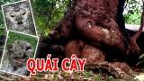 [Binh Bonsai] Quái cây | những cây cảnh đẹp kỳ quái con của cha giời mẹ đất