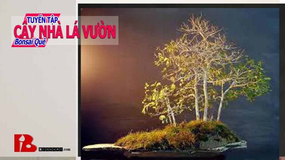 [Binh Bonsai] Tuyển tập Cây nhà lá vườn – Khai thác Bonsai núi như thế nào
