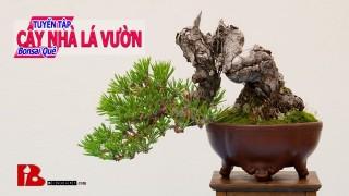 ~[Binh bonsai]Cafe chiều thứ 7 và ngắm Bonsai Hải Châu Bonsai đẹp cây cảnh nghệ thuật
