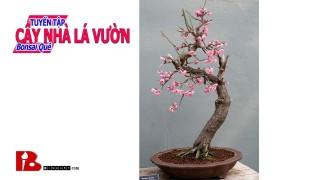 Tuyển tập Bonsai Cây nhà lá vườn – Vườn bonsai nghệ thuật của Thạch Sanh [Binh Bonsai]
