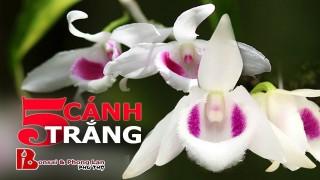 ~ CLB Phong Lan Phú Thọ: Giới thiệu Phi điệp 5 cánh trắng Phú Thọ – Phong lan phi diep 5 canh trang